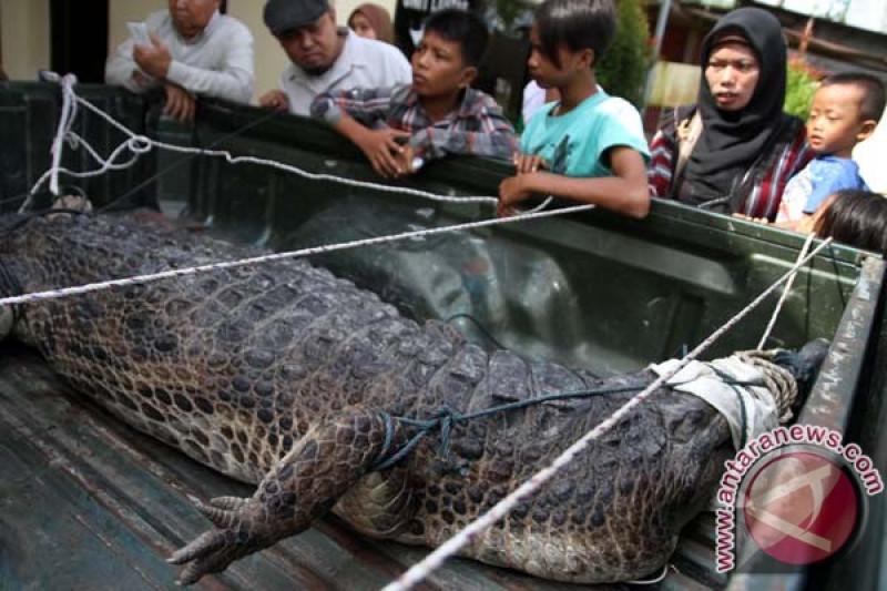 Buaya penyerang bocah dievakuasi ke Pekanbaru