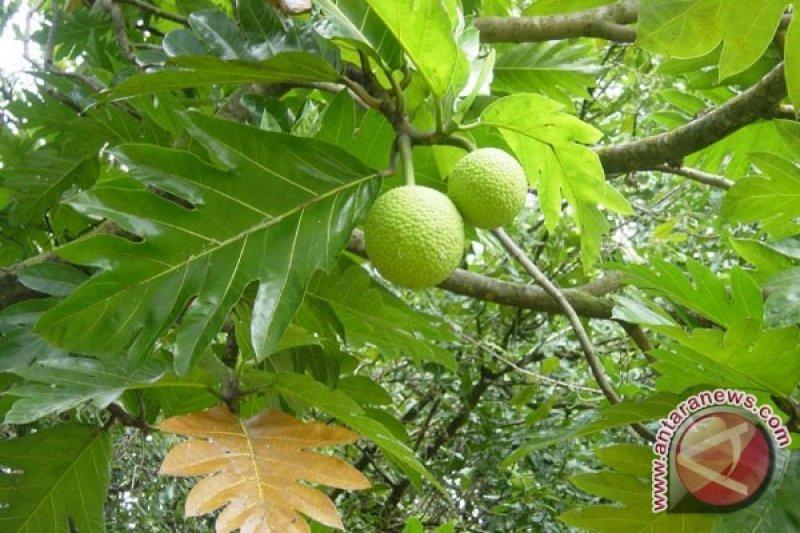 BPBD dorong pemda di NTT tanam pohon sukun dan aren