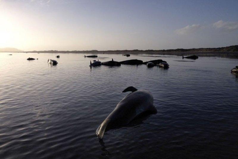 145 ikan paus mati terdampar di Selandia Baru