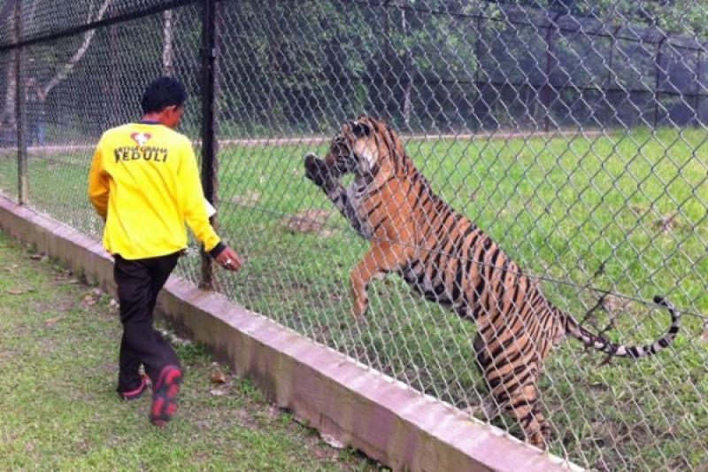 Harimau sumatera dari Muara Enim jalani rehabilitasi