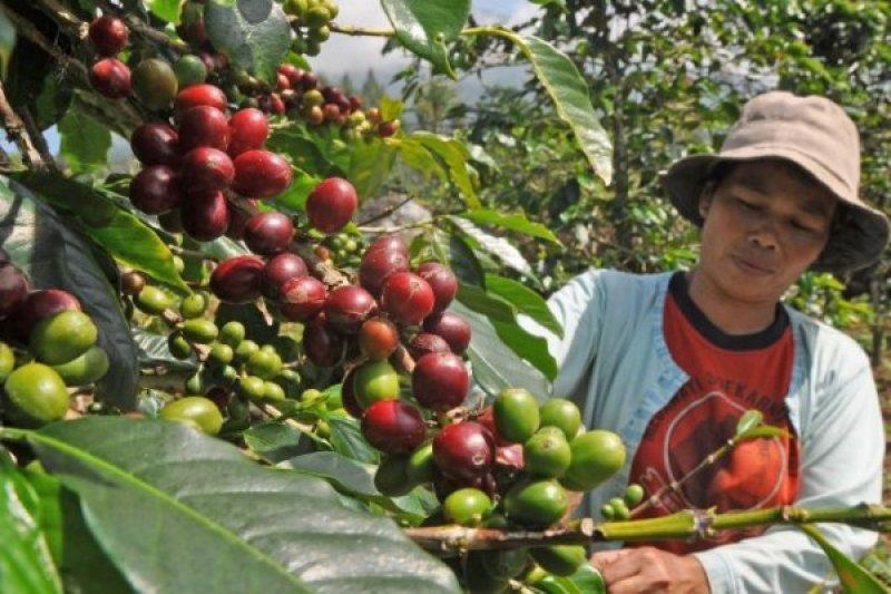 Jutaaan petani dunia terpaksa jual kopi dengan harga rendah, bagaimana ICO mendongkraknya ?