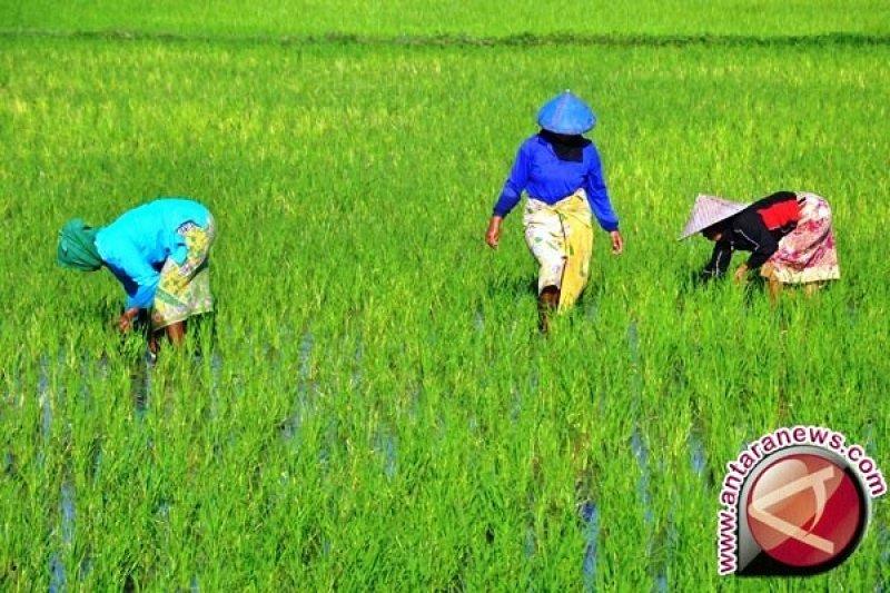 BI gandeng Pemkab Nabire kembangkan klaster padi