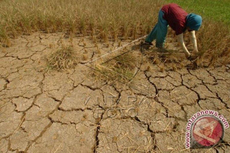 1.040 hektare sawah di Ciamis terancam puso