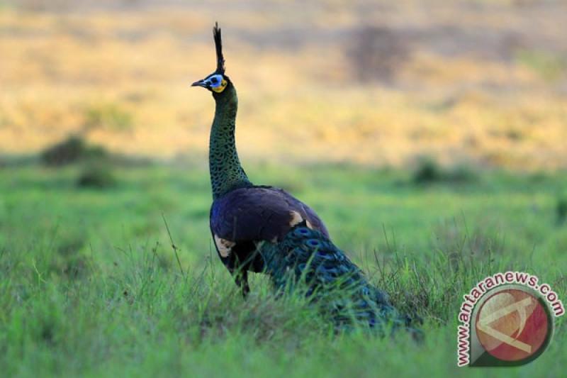 Download 98+  Gambar Burung Merak Hijau  Paling Unik Free