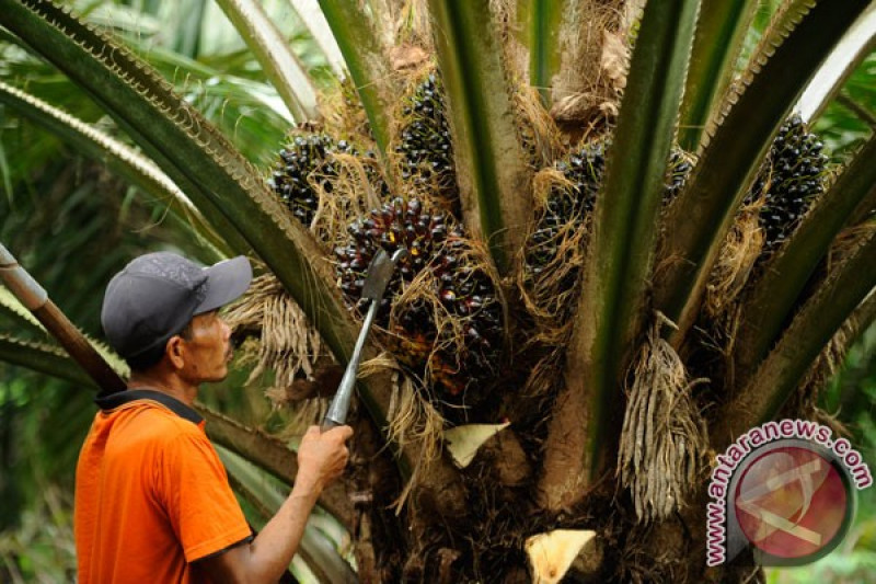 Harga CPO dan kelapa sawit turun