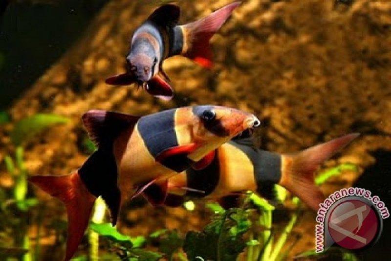 Ikan hias botia dipamerkan pada Pekan Kelompok Tani dan Nelayan