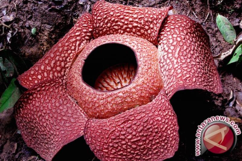 Download 85 Koleksi Gambar Bunga Raflesia Bengkulu Gratis