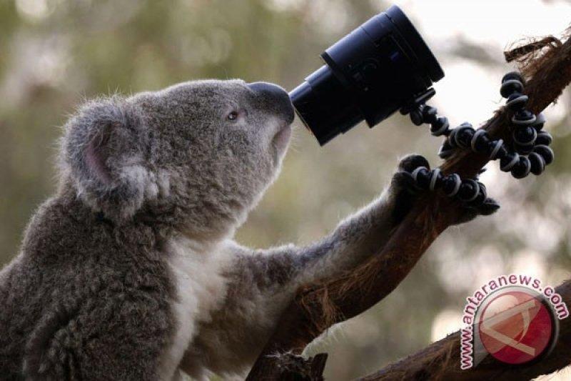 Video langkah pertama bayi Koala ditonton 100 ribu kali lebih