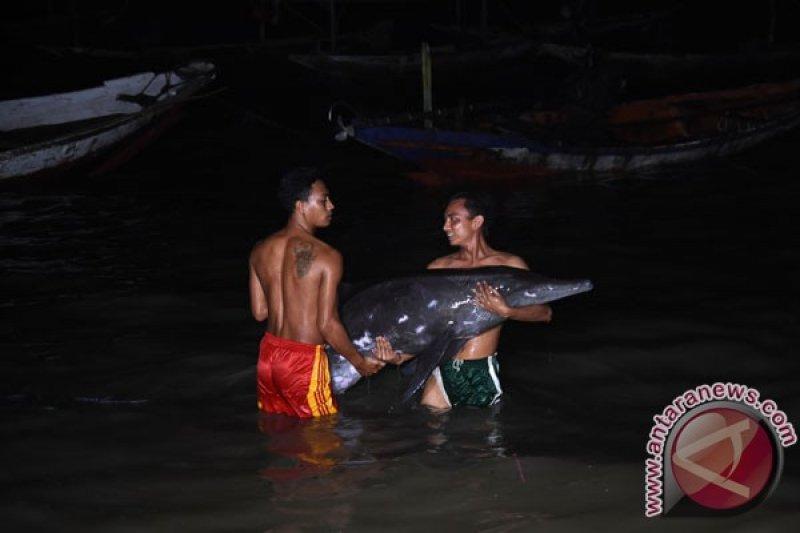 Kondisinya luka, seekor lumba-lumba terdampar di Pantai Serang-Blitar