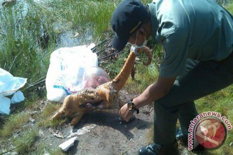 Puluhan Bangkai Trenggiling Tanpa Sisik Ditemukan Di Sampit