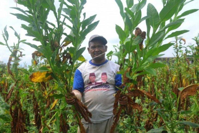 Gagal Panen, APTI Berharap Pemerintah Bantu Petani Tembakau