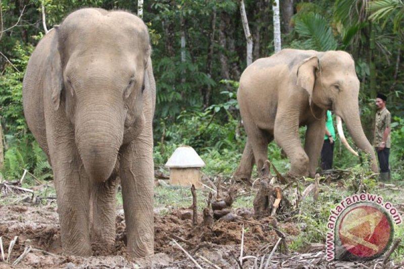 CRU minta pemerintah segera atasi gangguan gajah liar di Aceh Barat