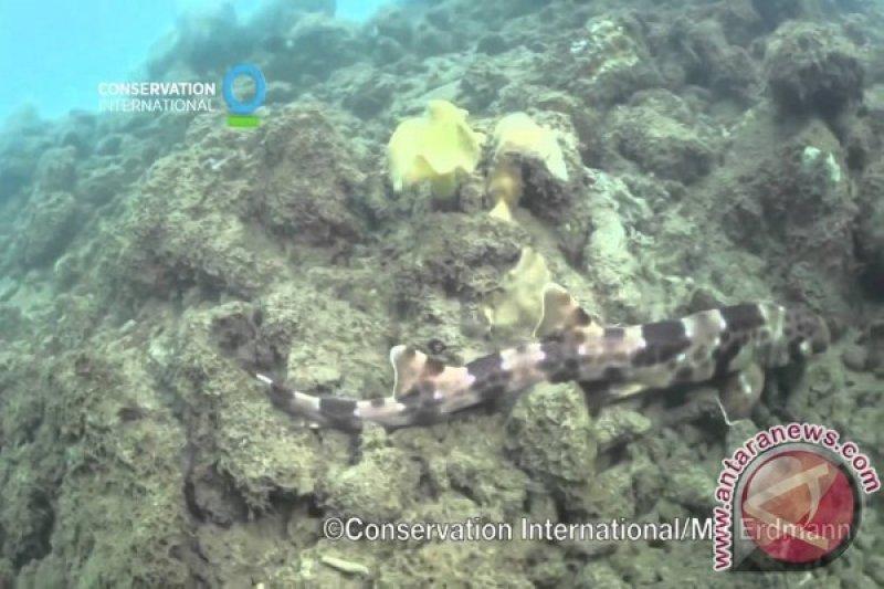 """Spesies """"hiu berjalan"""" ditemukan di perairan Raja Ampat dan Halmahera"""