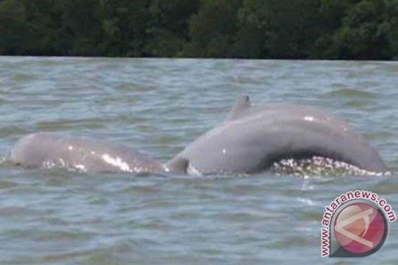 Populasi lumba-lumba turun separuh dalam tujuh tahun