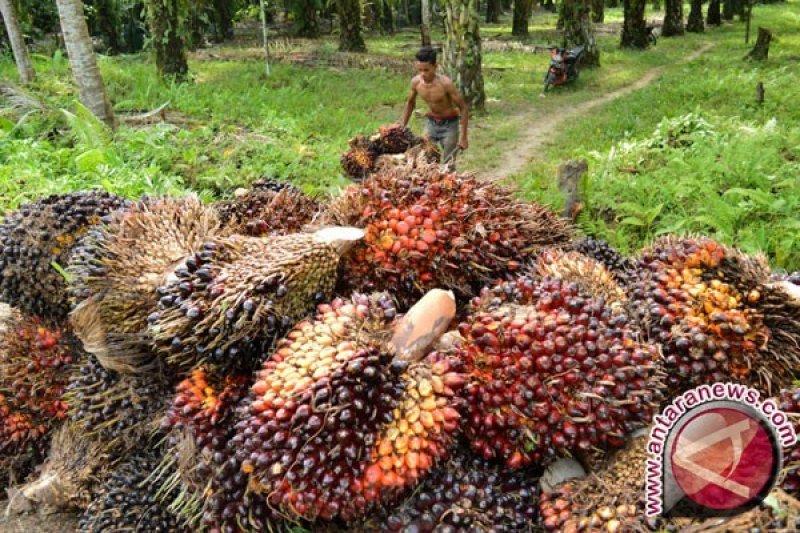 Harga CPO di Jambi Rp6.765/Kg