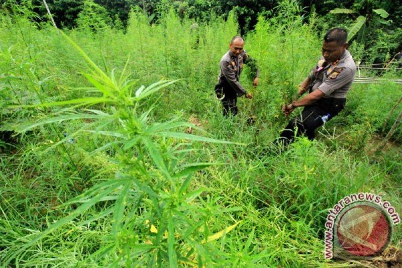Polres Nias Selatan temukan satu hektare lahan ganja
