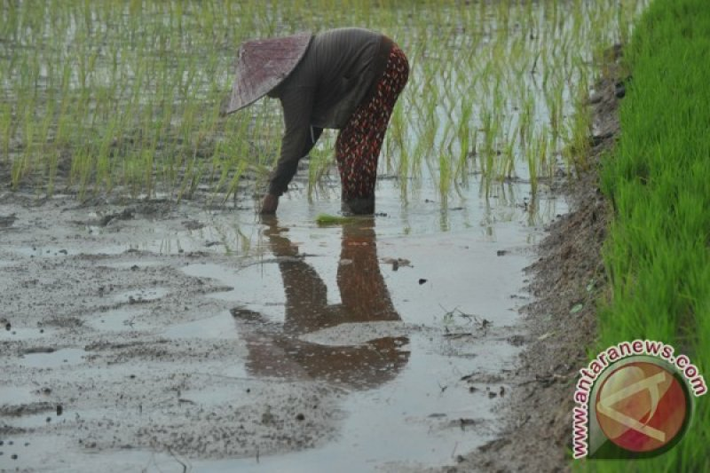 Pemkot Palembang pertahankan keberadaan sawah lebak