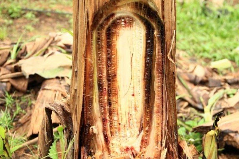 Produksi kertas dari batang pisang