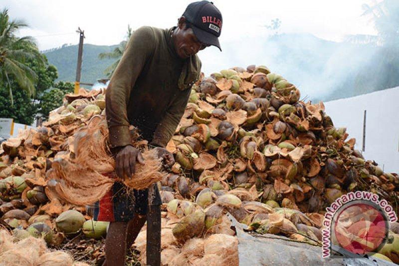 Produksi kelapa di Parigi Moutong 212,176 Juta butir/tahun