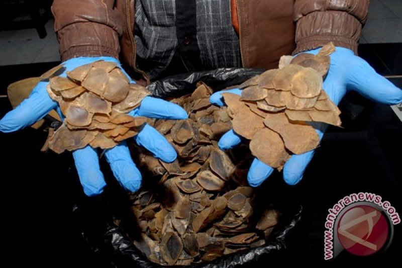 Penjual sisik tenggiling dan paruh rangkong ditangkap di Pasaman