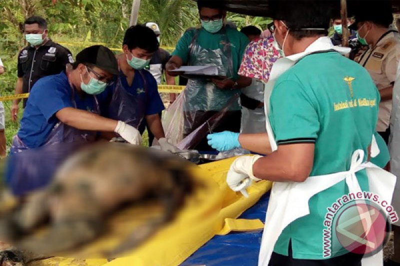 Polres Barito Selatan Terus Selidiki Kematian Orangutan Tanpa Kepala