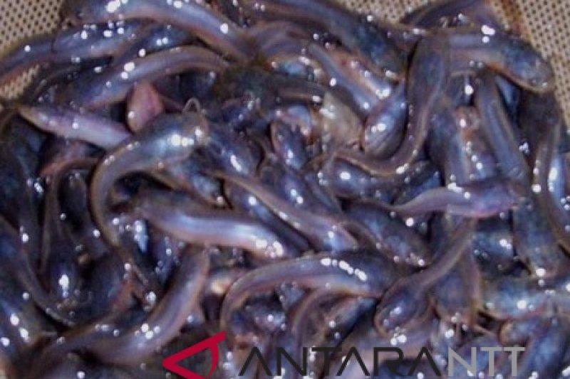 Download 66 Gambar Siluet Ikan Lele HD Terpopuler