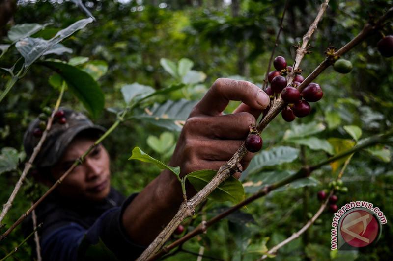 Petani produktifitas kebun kopi turun