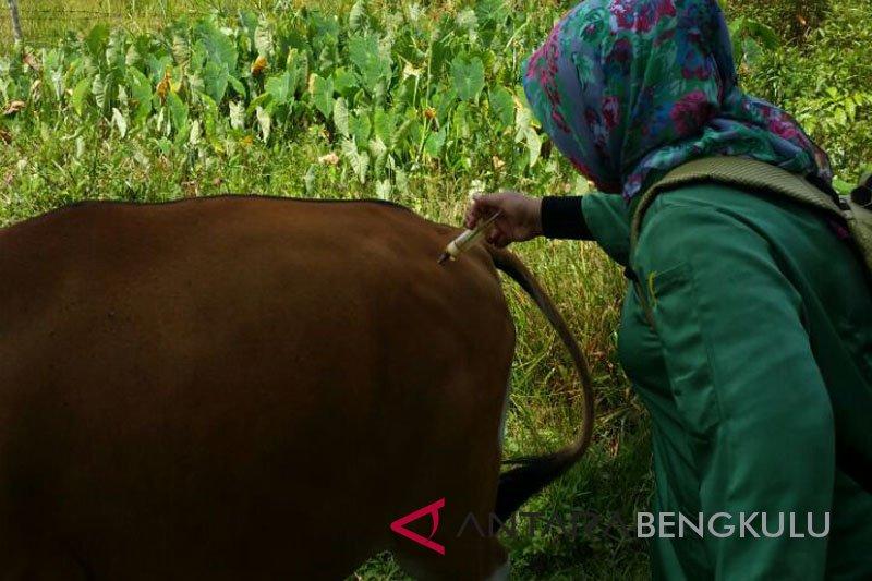 50 sapi di Mukomuko mati akibat jembrana