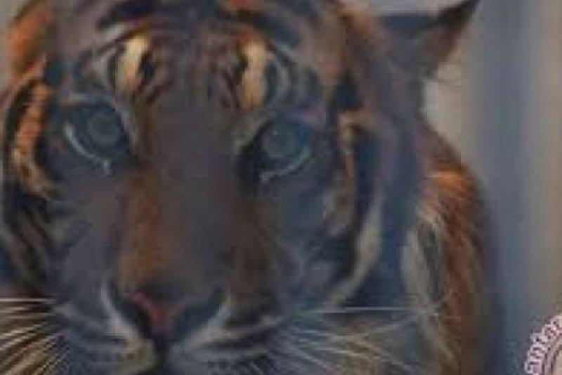 Warga diterkam harimau usai buka puasa