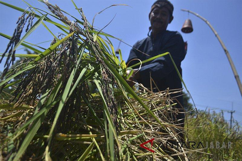 Tim BRG panen padi hitam di lahan gambut