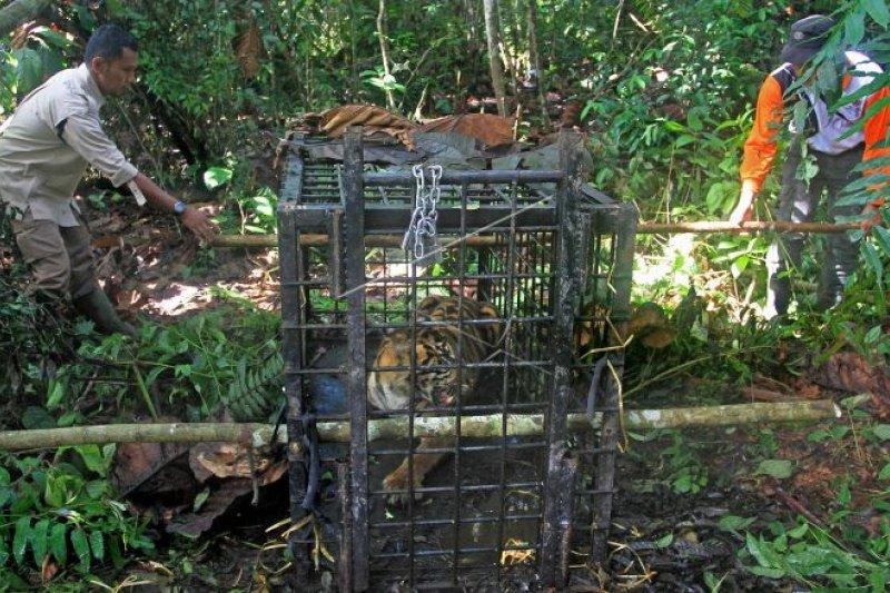 Harimau Sumatera masuk perangkap