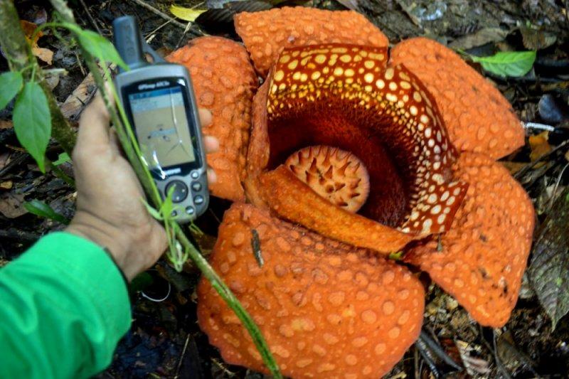Rafflesia kemumu mekar sempurna di Bengkulu Utara