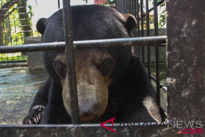 BBKSDA Riau bebaskan beruang madu dari jerat