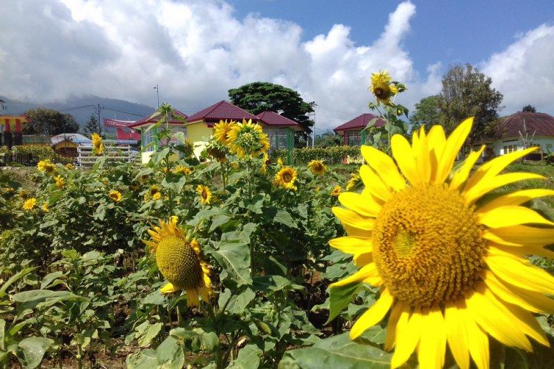 Inilah Kebun Bunga Matahari Yang Tumbuh Mekar Di Taman Sains