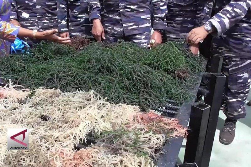 Koarmada I giatkan rumput laut untuk kesejahteraan