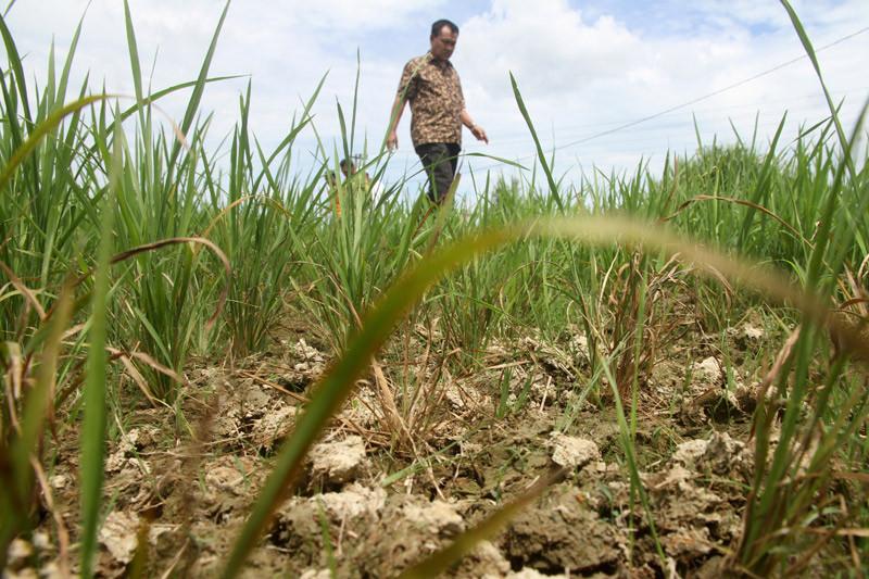 Sawah sudah dibajak, namun 4.000 hektare gagal tanam di Aceh Barat