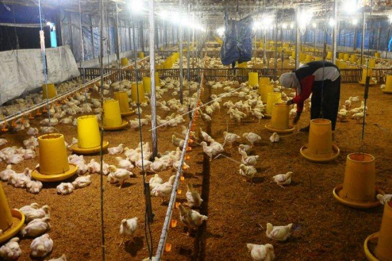 Indonesia perbarui prosedur impor ayam