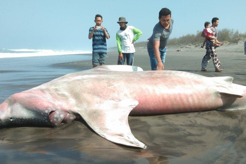 67 Koleksi Gambar Ikan Hiu Terdampar HD Terbaru