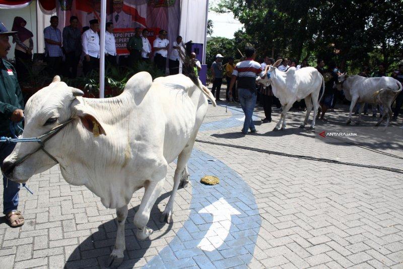 Pelaku usaha dilarang  potong sapi betina produktif