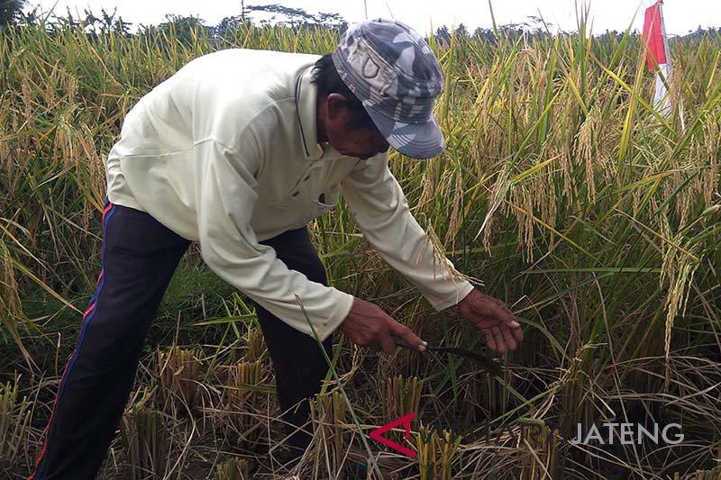 Jadi lumbung padi, petani Cilacap tolak impor beras