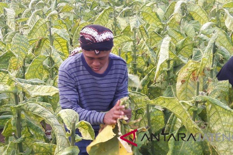Petani Temanggung kecewa harga tembakau anjlok