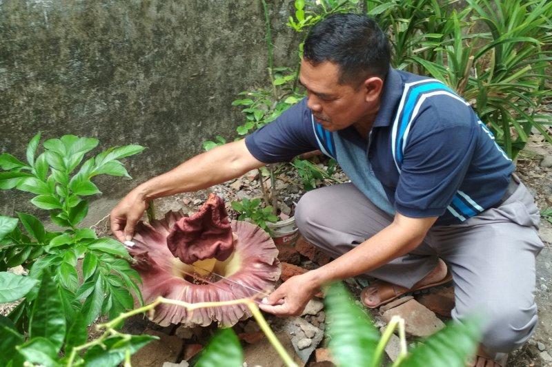 Bunga bangkai setinggi 40 cm tumbuh di pekarangan warga Kudus (VIDEO)