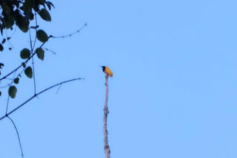 66 Koleksi Download Gambar Burung Cendrawasih Papua Terbaru