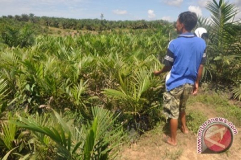 Kementan: Pengembangan sawit di Papua perlu peningkatan kapasitas SDM