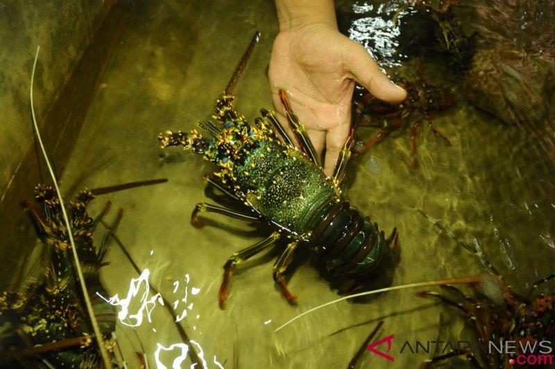 Penyelundupan 315.000 benih lobster berhasil digagalkan sepanjang 2018