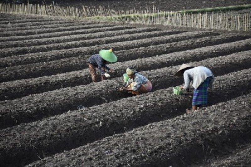 Petani Bawang Merah Lombok Barat