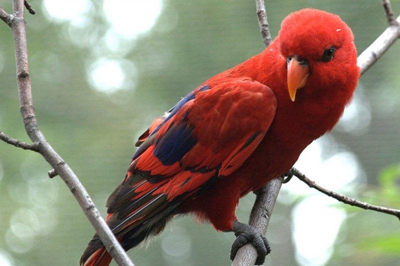 Bksda Maluku Lepas Liarkan Burung Nuri Merah Antara News Yogyakarta