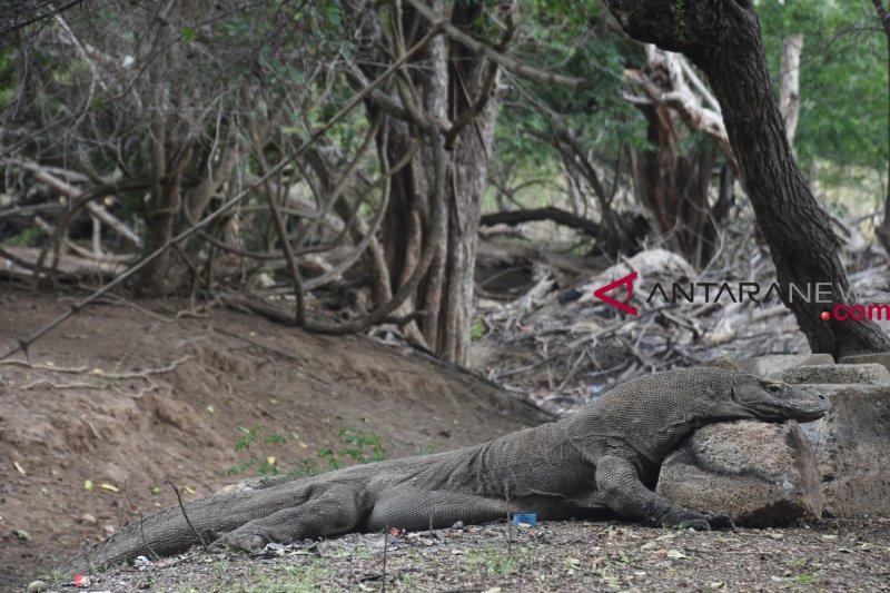 Pekan depan, Kemenko Maritim gelar rapat rencana penutupan Taman Nasional Komodo
