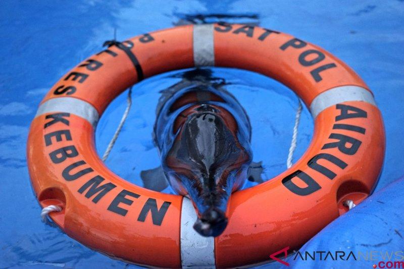 Lumba-Lumba Terdampar di Kebumen