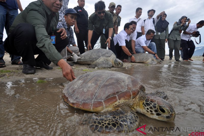 Antarafoto Pelepasliaran Penyu Hijau Sitaan Bksda Mhh Kepala Balai Konservasi Sumber Daya Alam Sulawesi Noel Layuk Allo Melepasliarkan Chelonia Mydas Pantai Teluk Palu